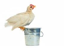 Huhn, das von der Wanne trinkt stockfotografie
