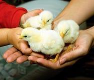 Huhn in den Händen des Kindes Lizenzfreie Stockfotografie