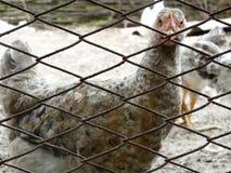 Huhn durch Zaun Stockfoto