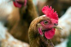 Huhn in einem Bauernhof Lizenzfreie Stockbilder