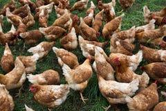 Huhn in einem Bauernhof Lizenzfreie Stockfotos