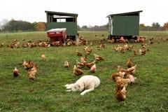 Huhn in einem Bauernhof Lizenzfreies Stockbild