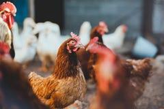 Huhn in einem Hühnerstall auf einem nahe gelegenen Hahn und Enten des Bauernhofes stockfotografie