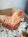 Huhn in einem Kasten lizenzfreie stockfotos