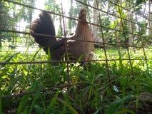 Huhn in einem natürlichen Lebensraum lizenzfreie stockfotos