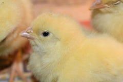 Huhn eins ein-Tag-alt, nette kleine Tiere Lizenzfreies Stockfoto