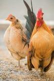 Huhn fand für Lebensmittel außerhalb des Hühnerstalls Lizenzfreies Stockbild