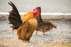 Huhn fand für Lebensmittel außerhalb des Hühnerstalls Lizenzfreies Stockfoto
