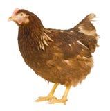 Huhn getrennt auf einem weißen Hintergrund Lizenzfreie Stockfotografie
