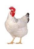Huhn getrennt auf Weiß. Stockfoto