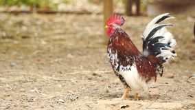 Huhn im Bauernhof stock video footage
