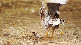 Huhn im Bauernhof stock video