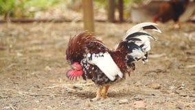 Huhn im Bauernhof stock footage