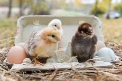 Huhn im Eikasten Lizenzfreies Stockfoto
