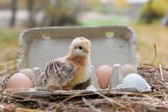 Huhn im Eikasten Stockfotos