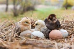 Huhn im Eikasten Lizenzfreies Stockbild