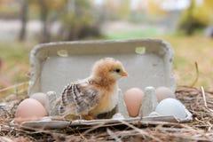 Huhn im Eikasten Stockbilder
