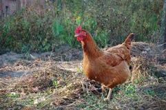 Huhn im Garten Stockbild