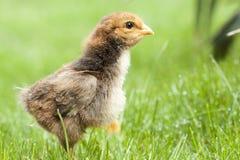 Huhn im grünen Gras Lizenzfreie Stockfotografie