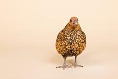 Huhn im Studio auf Sahnehintergrund Stockfotos