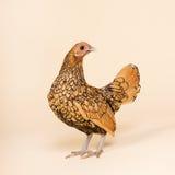Huhn im Studio auf Sahnehintergrund Lizenzfreies Stockfoto