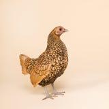 Huhn im Studio auf Sahnehintergrund Stockfoto