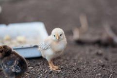 Huhn ist nahe der Zufuhr stockbilder