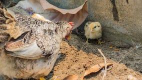 Huhn, Küken, Hennen Stockbild