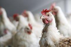 Huhn mit anderen Hühner im Hintergrund Stockfotos