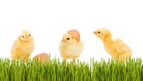 Huhn mit drei Schätzchen im Gras Lizenzfreies Stockbild