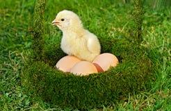 Huhn mit Eiern Lizenzfreies Stockfoto