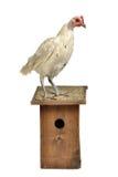 Huhn mit starling Haus Stockfotos