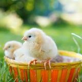 Huhn mit zwei Schätzchen in einem Korb Lizenzfreies Stockbild