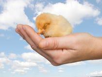 Huhn schlafend auf einer Hand Stockfoto