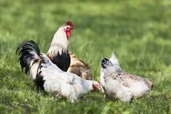Huhn und Brandhahn draußen. Stockfoto