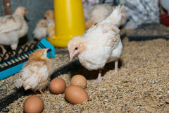 Huhn und Ei Lizenzfreie Stockfotografie
