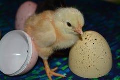 Huhn und Eier Plastik Stockbild