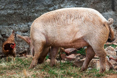 Huhn und ein Schwein Stockfotografie