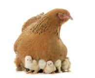Huhn und Küken Brahma lizenzfreie stockbilder
