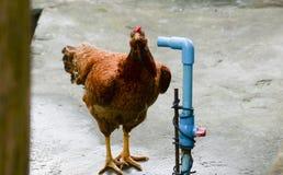 Huhn und Wasserleitung Stockbild