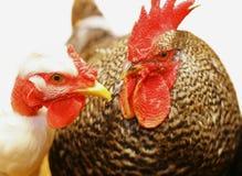 Huhnkorb Lizenzfreies Stockfoto