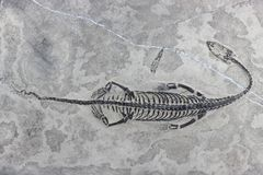Hui 06 del Keichousaurus Fotografía de archivo libre de regalías