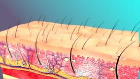 Huidanatomie stock illustratie