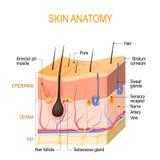 Huidanatomie Lagen: epidermis met haarfollikel, zweet en sebaceous klieren, derma en vette hypodermis vector illustratie