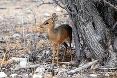 Huiden kirk-Dikdik onder een boom - Namibië Afrika stock afbeelding