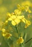 Huile de graine de colza ou fleurs de Canola image stock