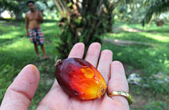 Huile de palme brute photographie stock libre de droits