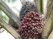 Huile de palmier photographie stock