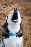 Huilend Siberisch Husky Dog stock foto's