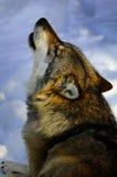 Huilende Europese wolf Royalty-vrije Stock Afbeeldingen